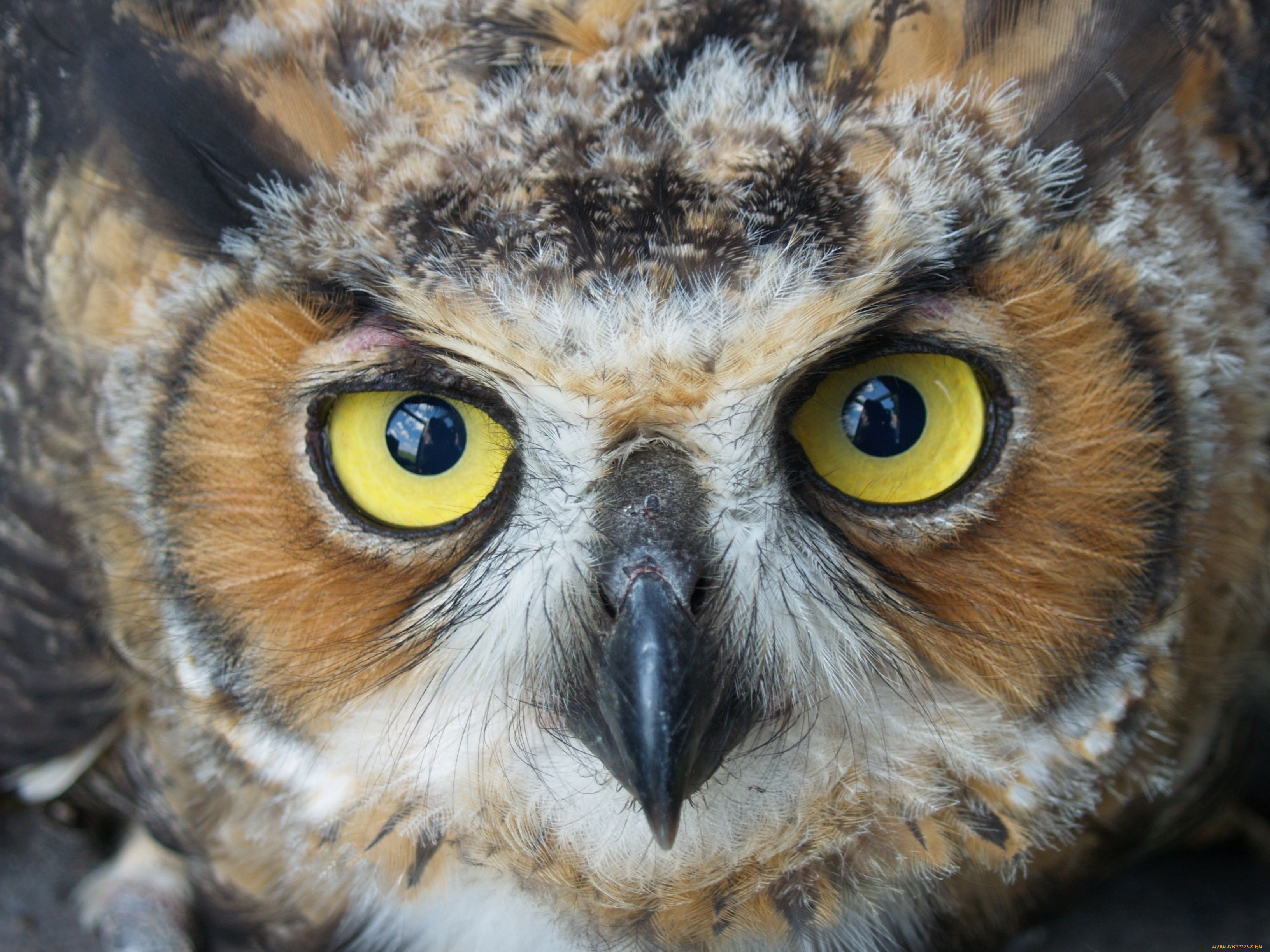 супруга сова с желтыми глазами фото была